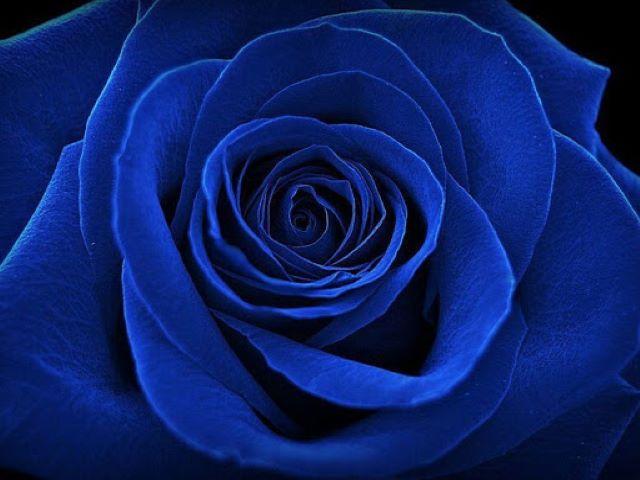 frasi sulle rose blu
