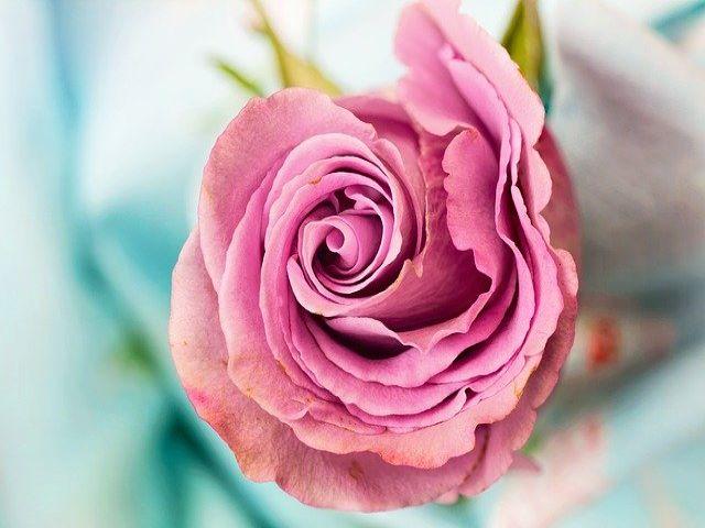 immagini delle rose