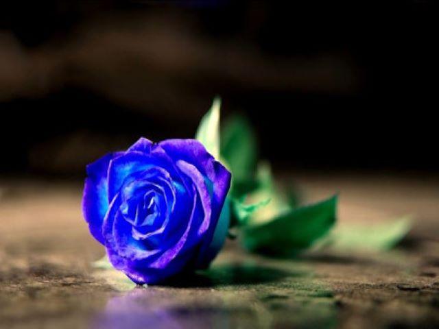 immagini di rose blu