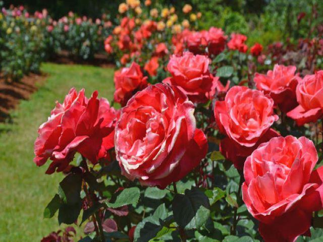 immagini di rose colorate