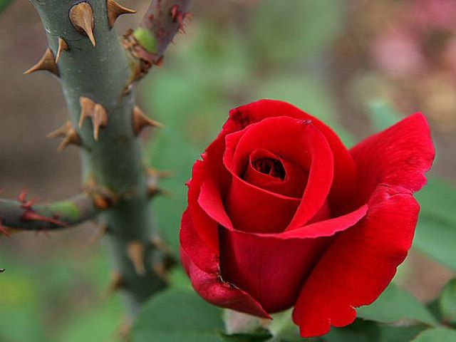 immagini di rose da scaricare