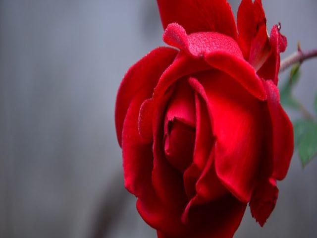 immagini rose rosse