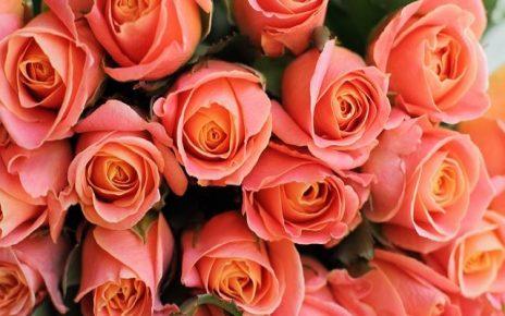 rose rosa immagini